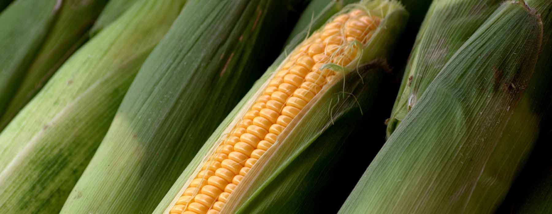 corn on the cob including the husk