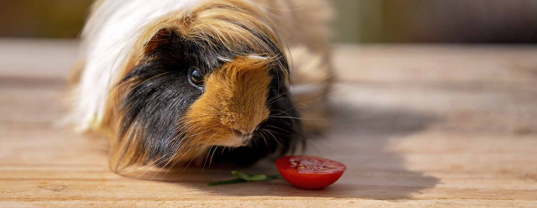 long haired guinea pig with a piece of tomato