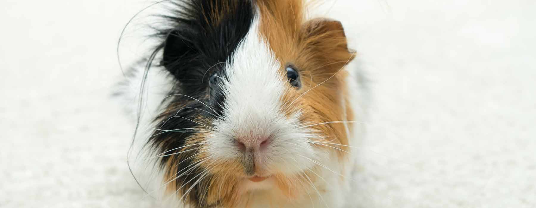 Small abyssinian guinea pig