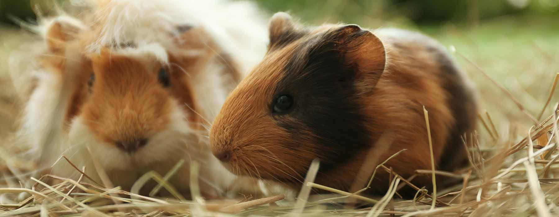 two guinea pigs eating hay