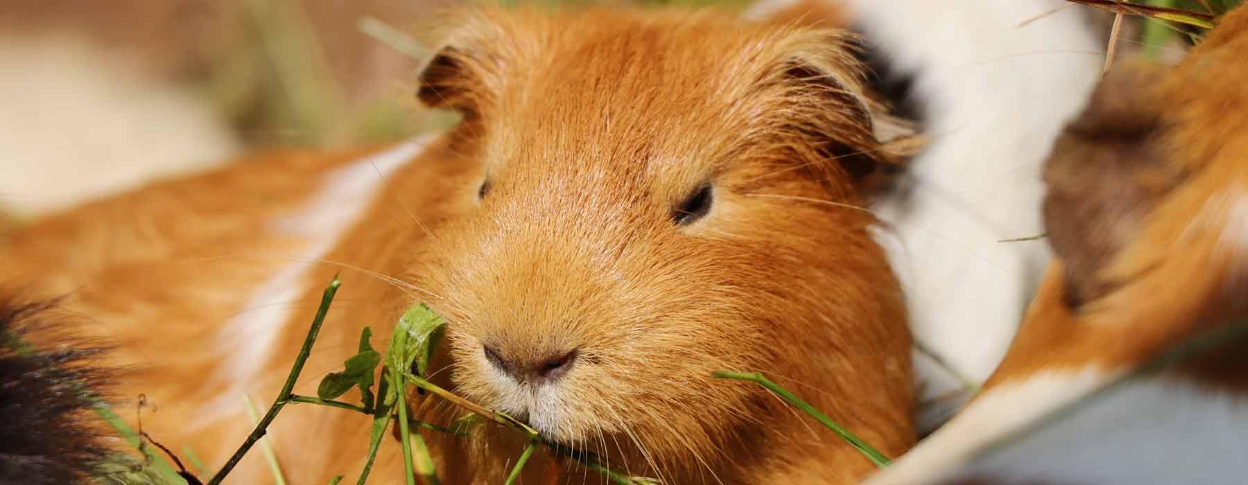 ginger guinea pig eating herbs