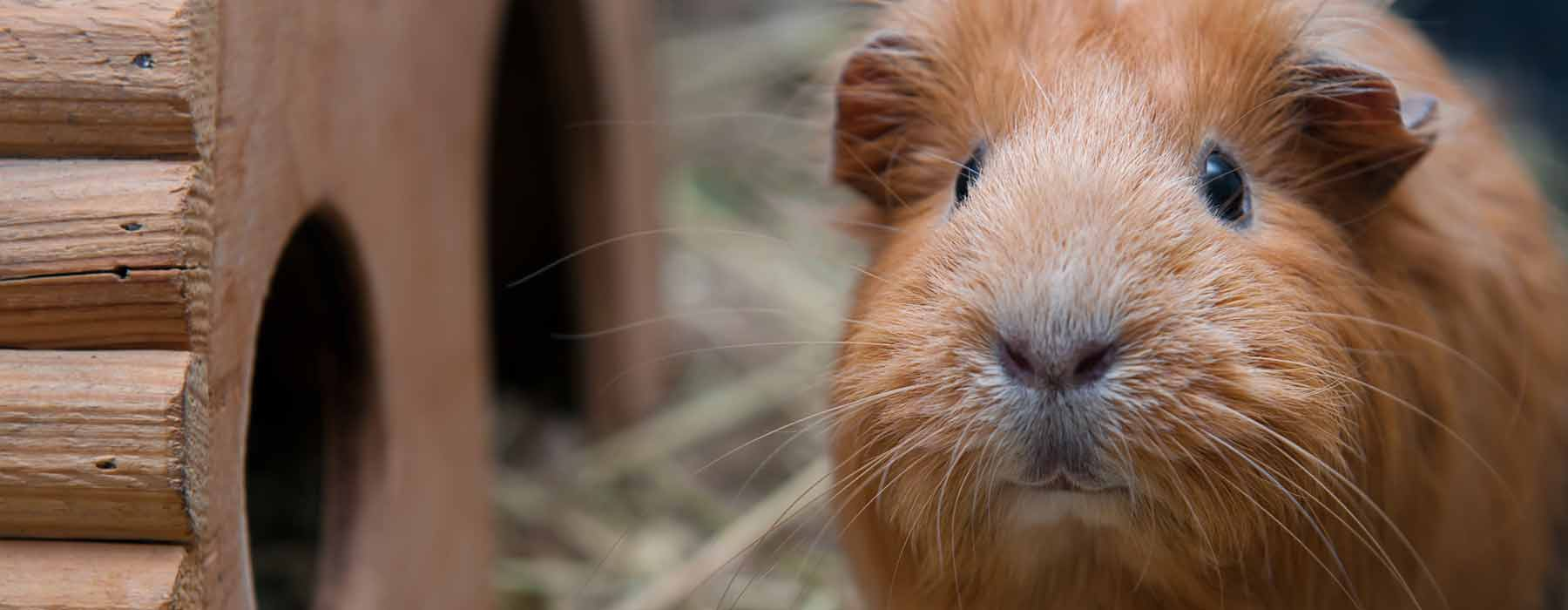 ginger guinea pig next to his hideout