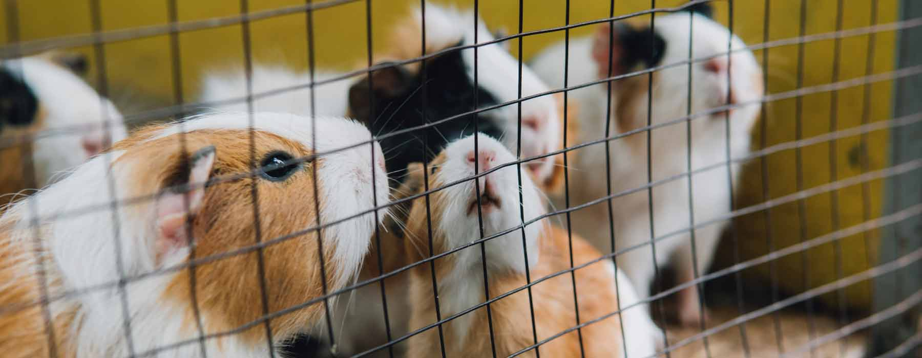 several guinea pigs in a cage