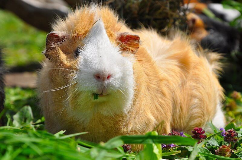 Abyssinian Guinea Pig Breed - a ginger guinea pig with a white face
