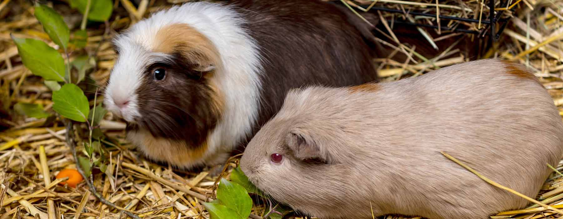 two guinea pigs eating hay and fresh food