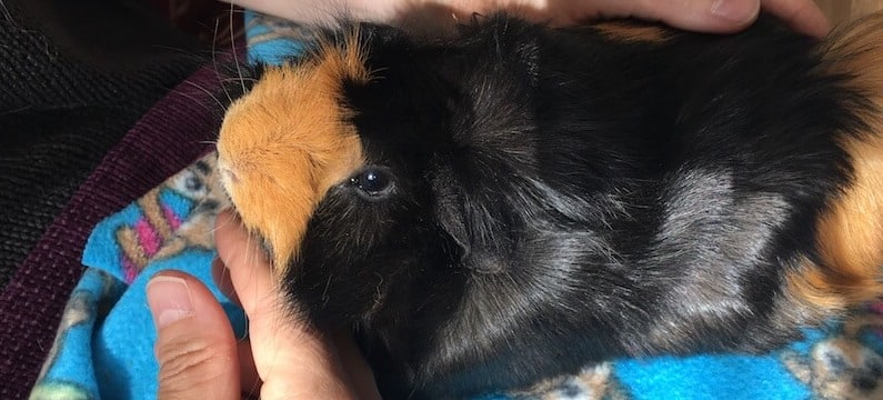 stroking a black and ginger Abyssinian guinea pig