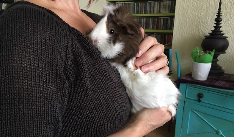 holding an Abyssinian guinea pig
