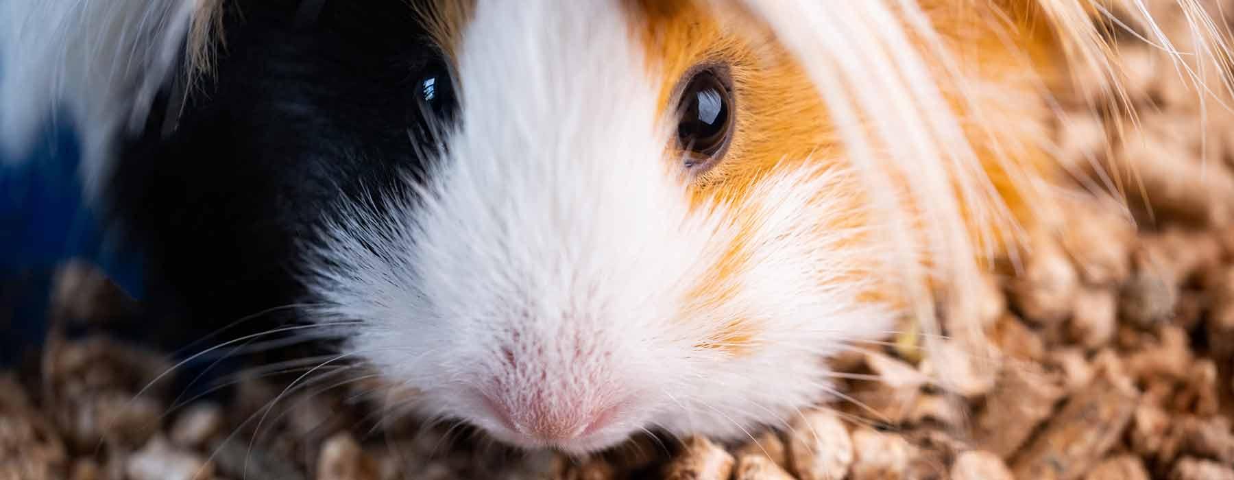 long-haired guinea pig on pine pellets
