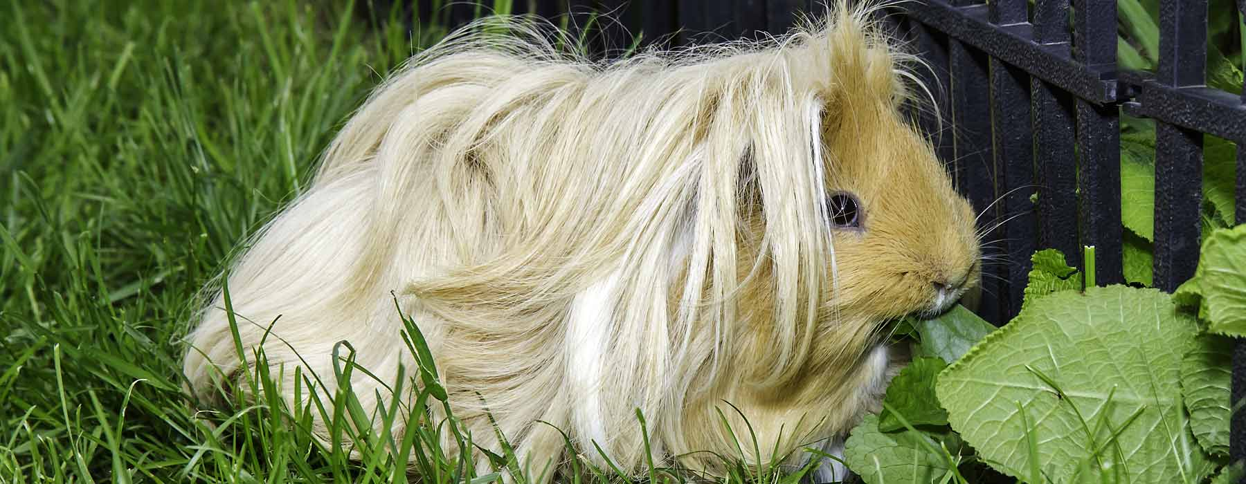 long haired guinea pig in the grass