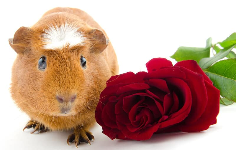 White Crested Guinea Pig Breed - smooth haired ginger guinea pig with a white crest