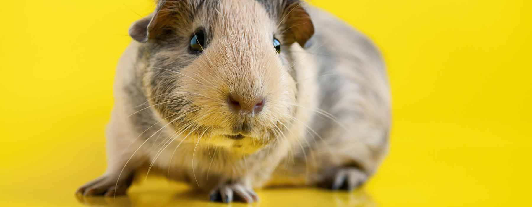cute short haired guinea pig
