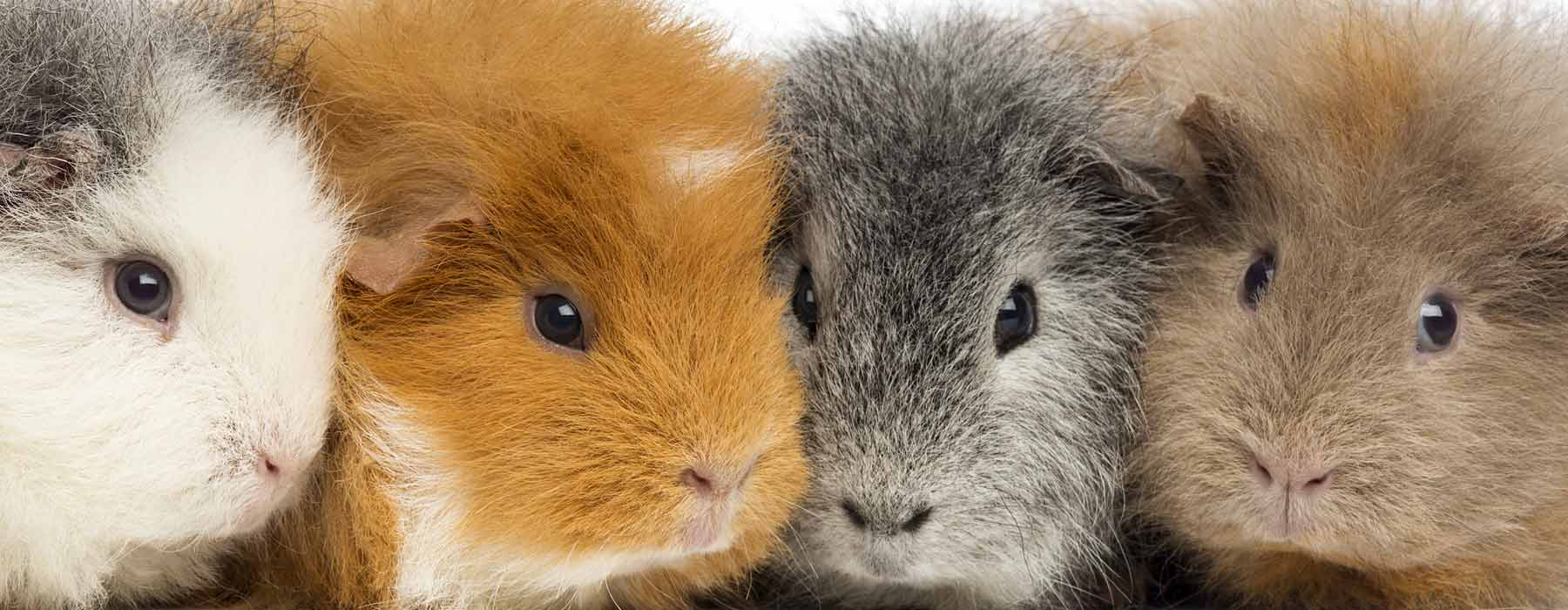 four guinea pigs in a row