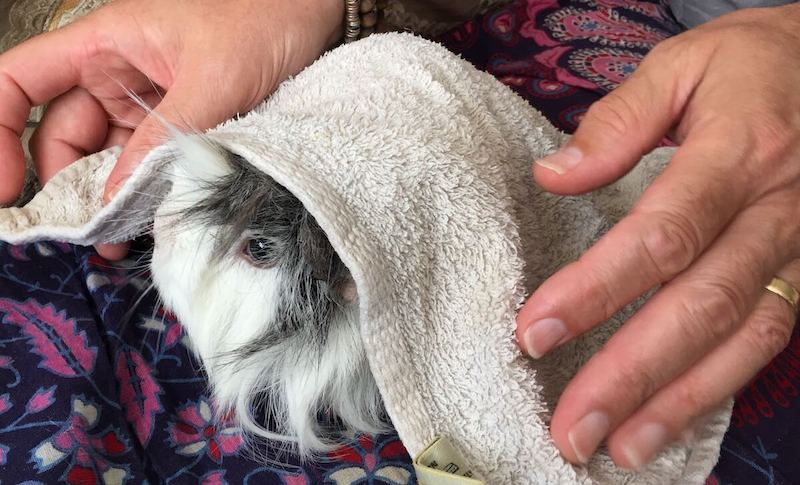 Keeping a guinea pig cool by covering  them with a damp towel