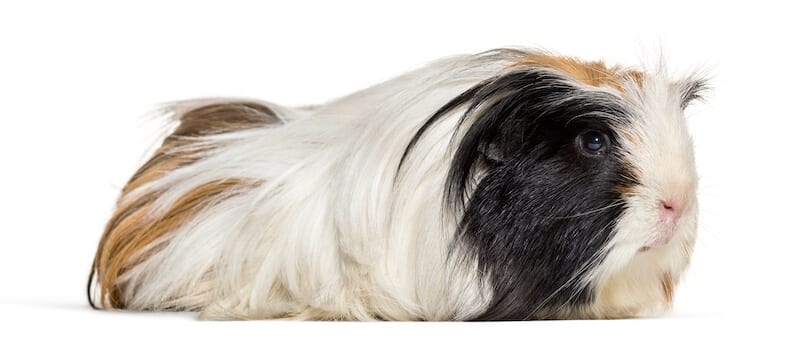 Coronet guinea pig  breed -  long haired  with white, ginger and black hair