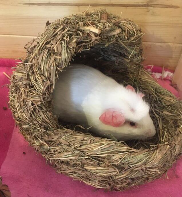 English crested or self crested guinea pig with white hair and white crest