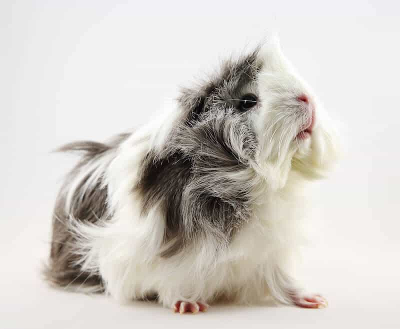 Sheba Mini Yak (bad hair day) guinea pig breed  with white and grey hair