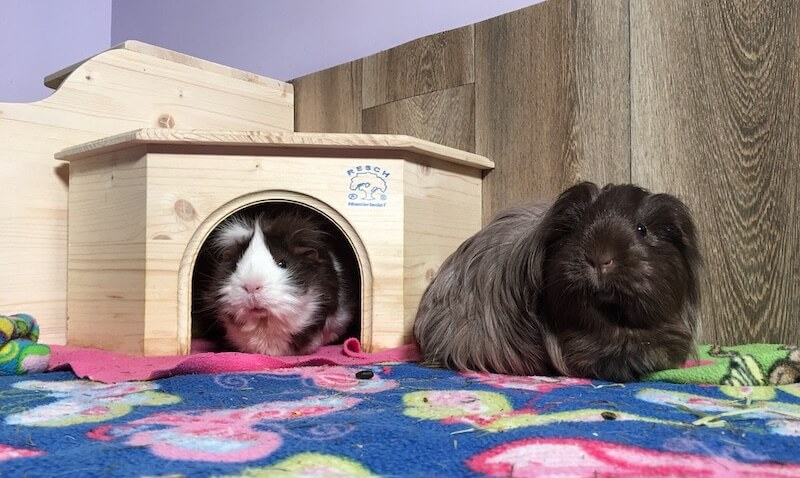 Abyssinian guinea pig in a  wooden corner house with a  silkie guinea pig outside