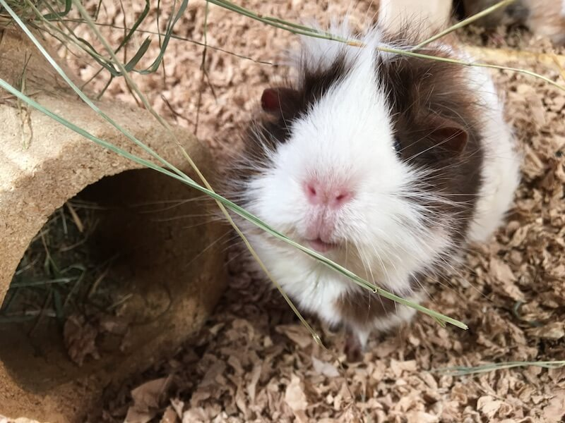 White faced Abyssinian guinea pig next to tunnel