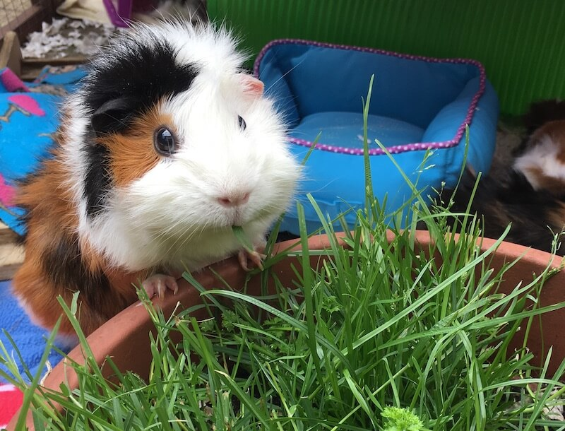 Abyssinian guinea pig eating fresh grass