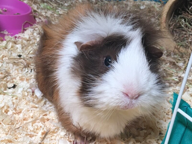Female white, chocolate  and ginger abyssinian guinea pig