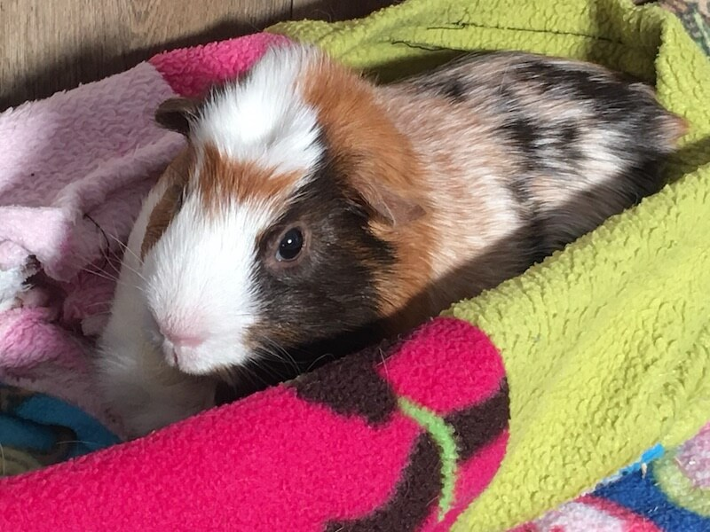American crested guinea pig on colourful fleece blanket