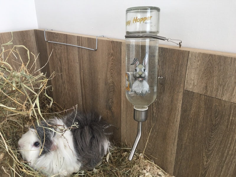 Grey and  white  guinea pig in cage next  to  a glass water bottle