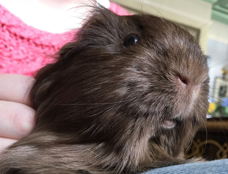 Brown silkie guinea pig on someone's lap