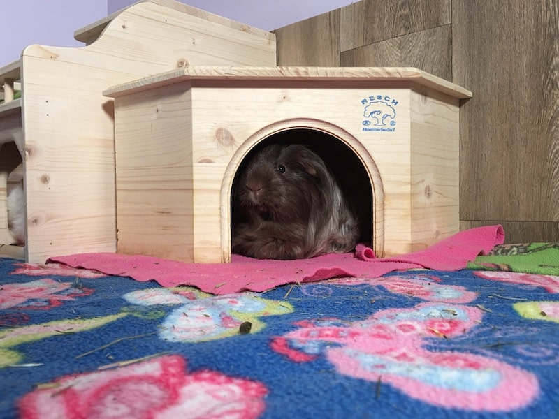 Guinea pig in a wooden corner hideout on colourful fleece liner bedding
