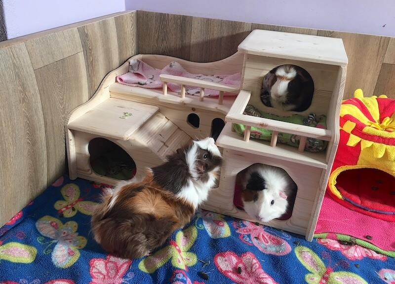 Guinea pigs in an extra large luxury wooden mansion hideout