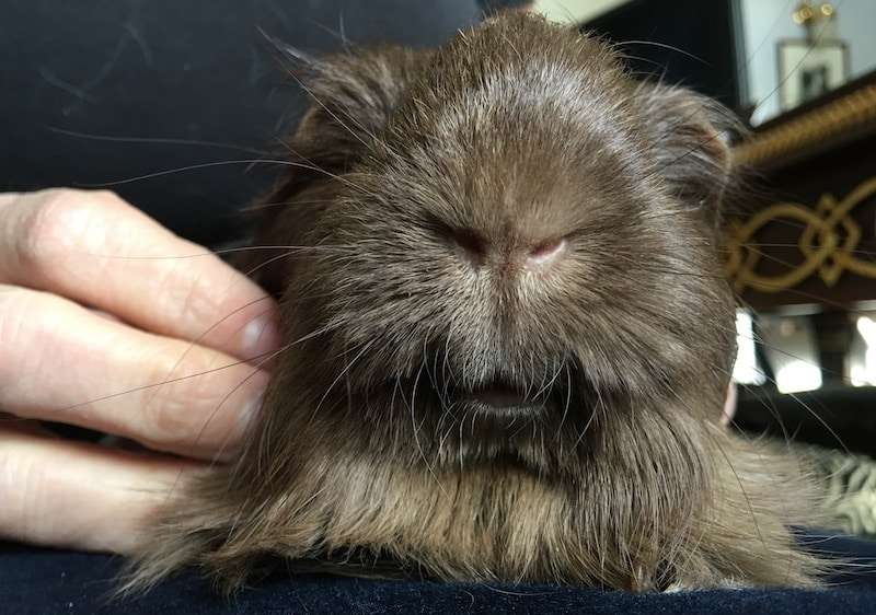 Close  up of a  Silkie guinea pig's nose and mouth