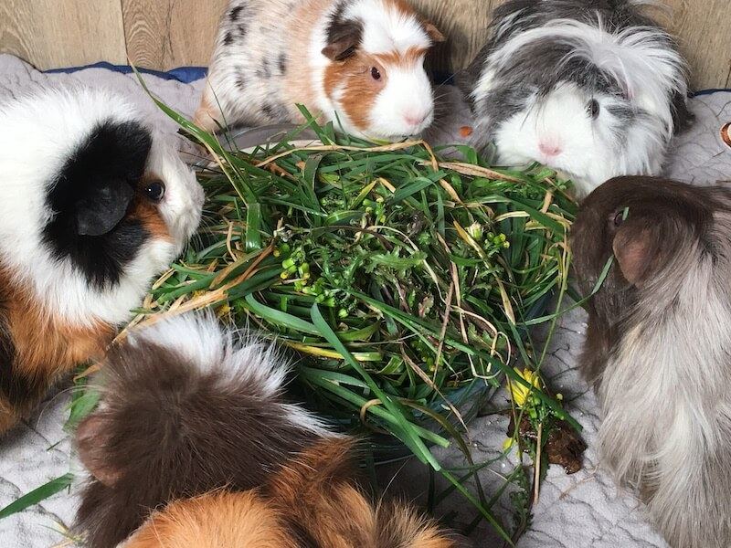 5 guinea pigs eating fresh grass and safe weeds