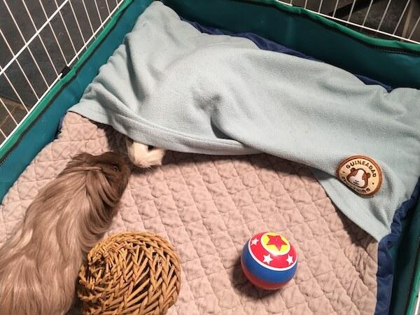 Guinea pig hiding under a GuineaDad fleece liner