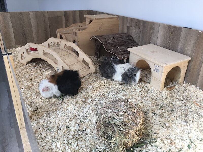 guinea pig  cage with 2 guinea pigs, hideouts, a bridge and a mixture of pine shavings  and hemp  bedding