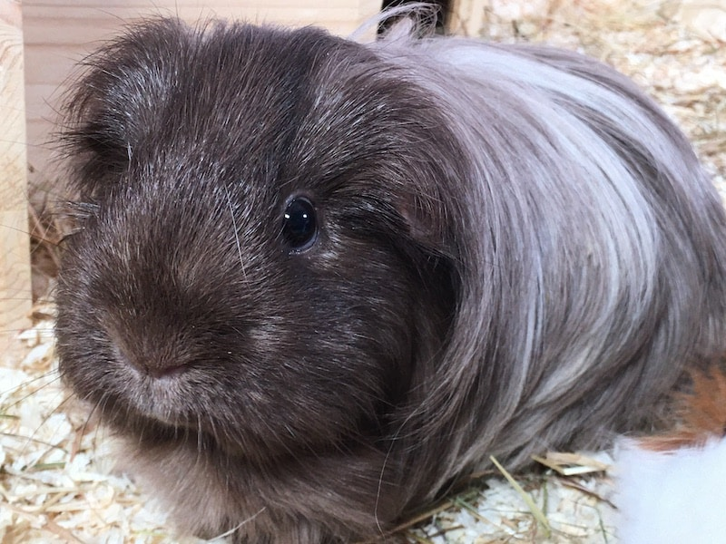 Long haired Silkie guinea pig