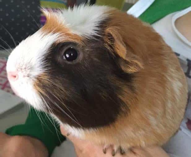 Ginger, chocolate and white American Crested Guinea Pig