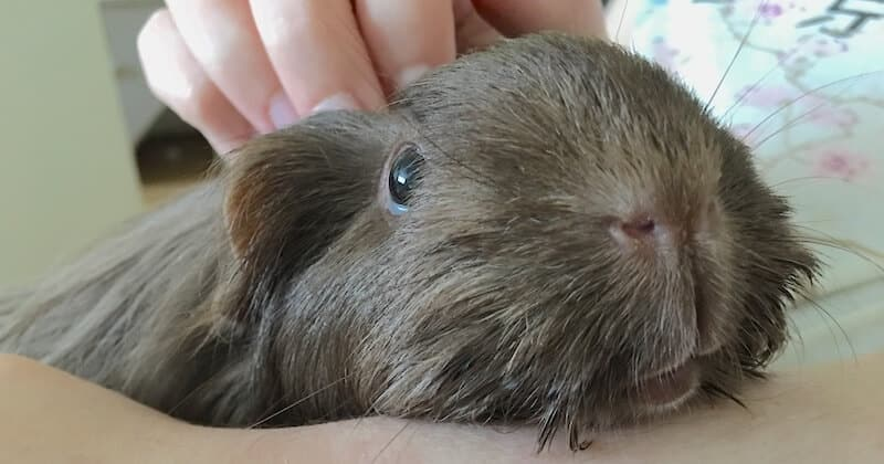 Brown silkie guinea pig being held and stroked