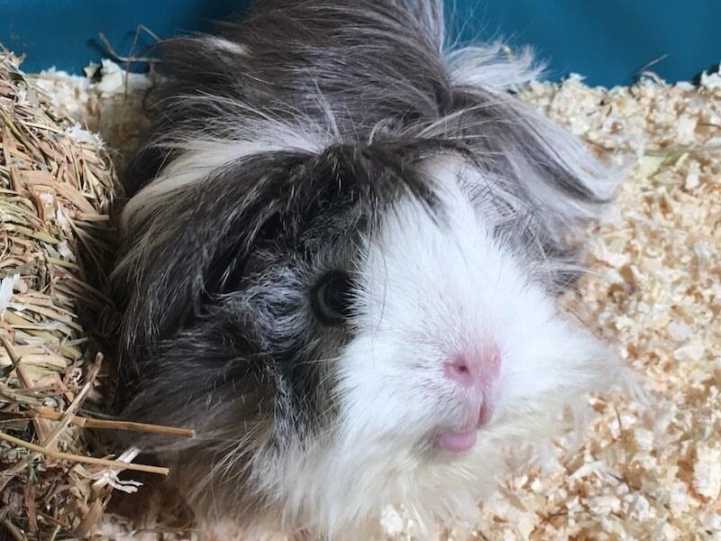 Grey and white sheba mini yak guinea pig