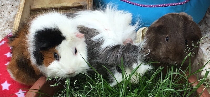three guinea pigs eating fresh grass that is being grown in a pot