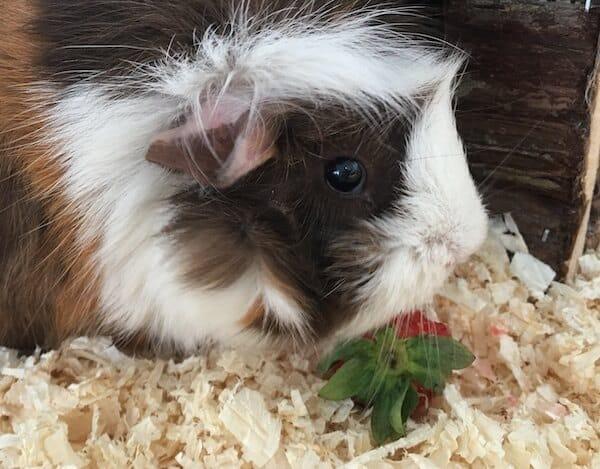 guinea pig eating a strawberry top